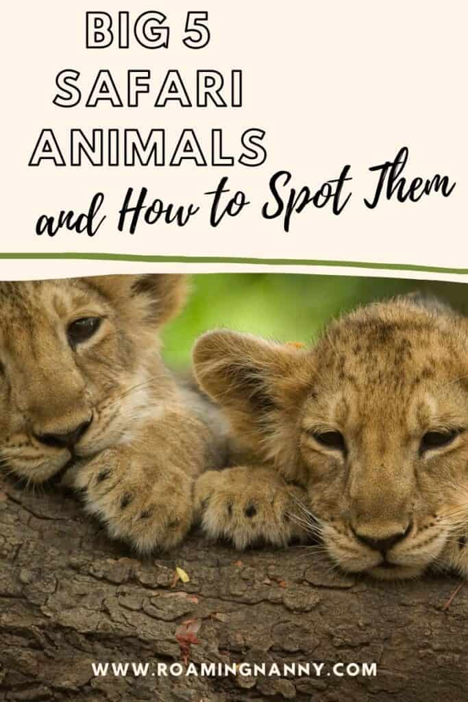 Everyone wants to see all of the Big 5 Safari Animals. Some are easy to find while others are elusive. Learn what they are and how to spot them.