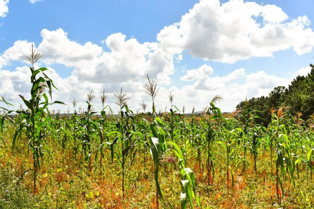casa particulars in cuba - corn growing in a field