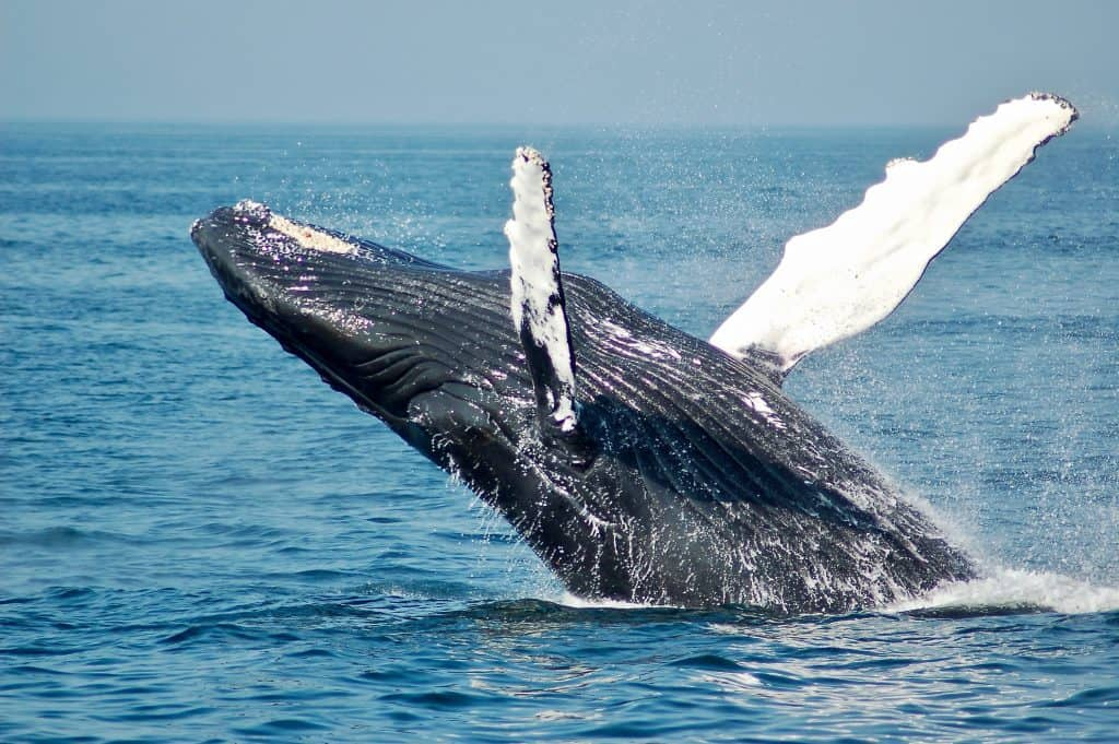 whale jumping out of water - places to visit in New England
